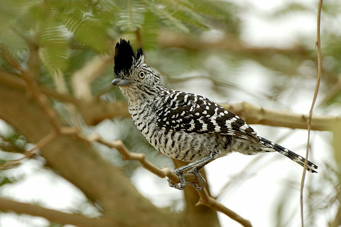 Choca-barrada (Thamnophilus doliatus)